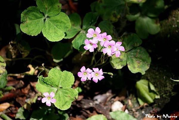 紫花酢漿草 (11).jpg