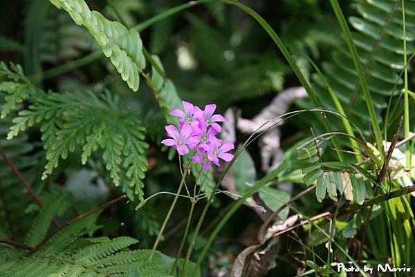 紫花酢漿草 (10).jpg