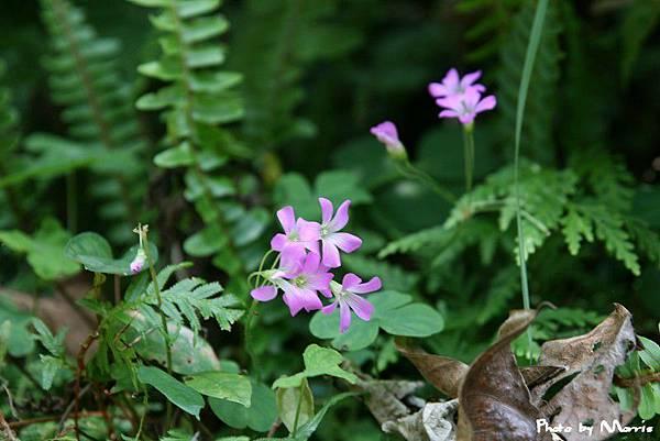 紫花酢漿草 (9).jpg