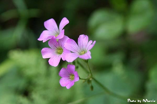紫花酢漿草 (8).jpg
