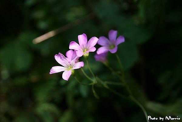 紫花酢漿草 (2).jpg