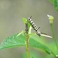 樺斑蝶幼蟲 (6).jpg