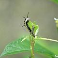 樺斑蝶幼蟲 (5).jpg