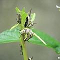 樺斑蝶幼蟲 (4).jpg