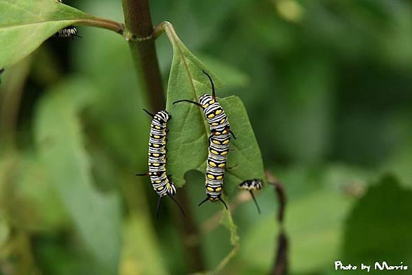 樺斑蝶幼蟲 (2).jpg
