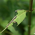 樺斑蝶幼蟲 (1).jpg