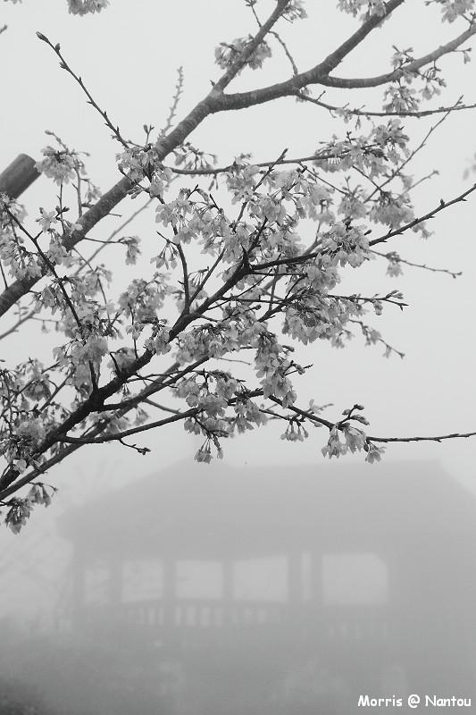 鹿谷台大茶園 (12)