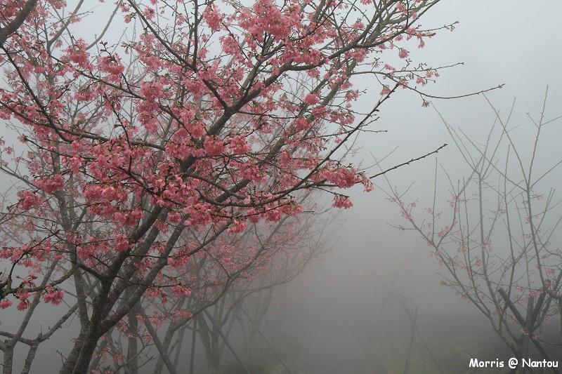 鹿谷台大茶園 (13)
