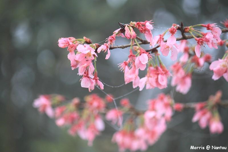 鹿谷台大茶園 (27)