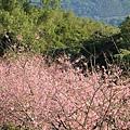 鹿谷台大茶園 (76)