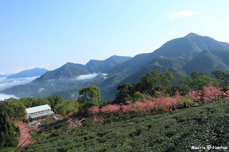 鹿谷台大茶園 (79)