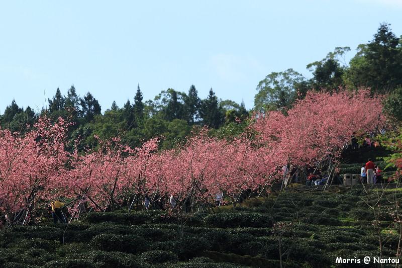 鹿谷台大茶園 (92)
