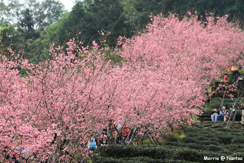鹿谷台大茶園 (93)