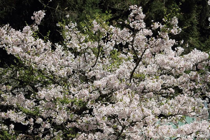 2012阿里山櫻花季 (115)