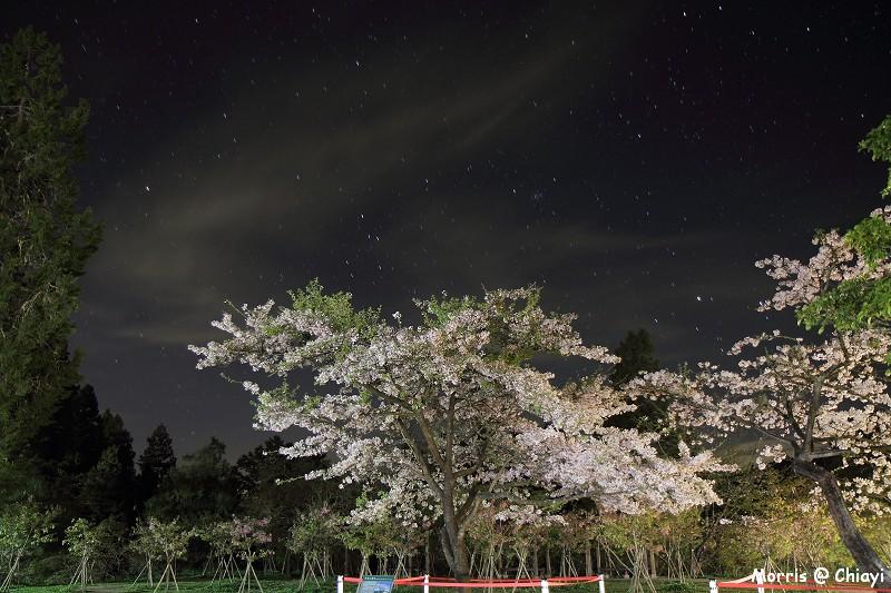 2012阿里山櫻花季 (2)