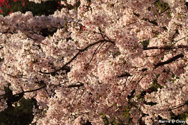 2012阿里山櫻花季 (16)