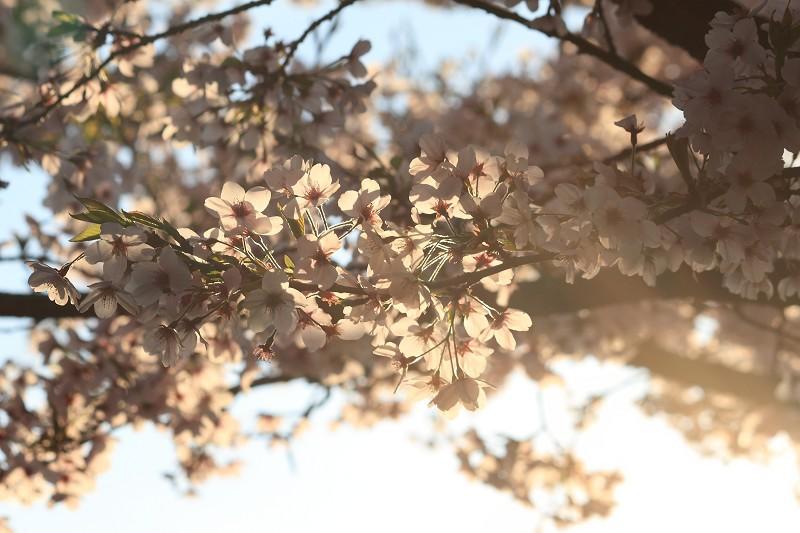 2012阿里山櫻花季 (17)