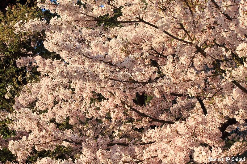 2012阿里山櫻花季 (19)