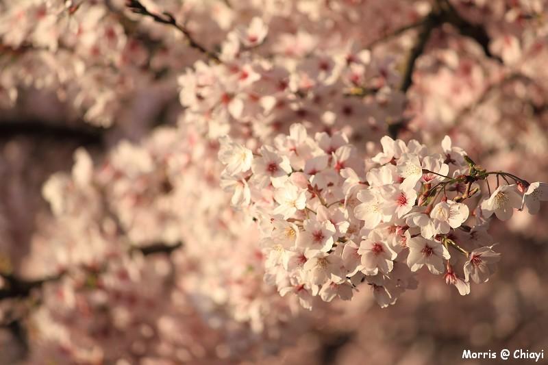 2012阿里山櫻花季 (21)