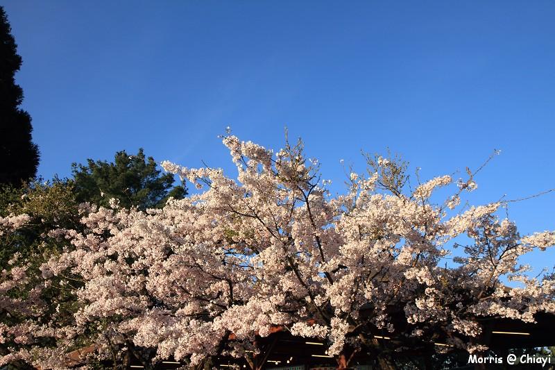 2012阿里山櫻花季 (22)