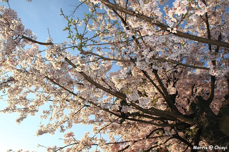 2012阿里山櫻花季 (23)