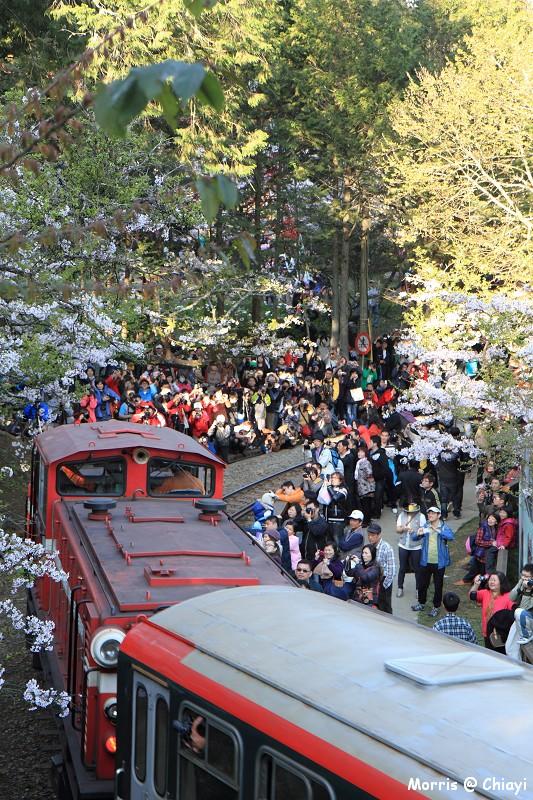 2012阿里山櫻花季 (24)