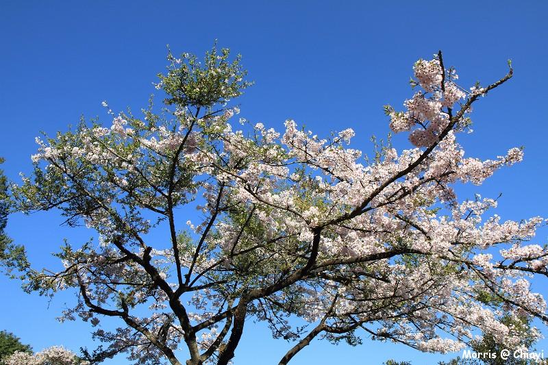 2012阿里山櫻花季 (25)