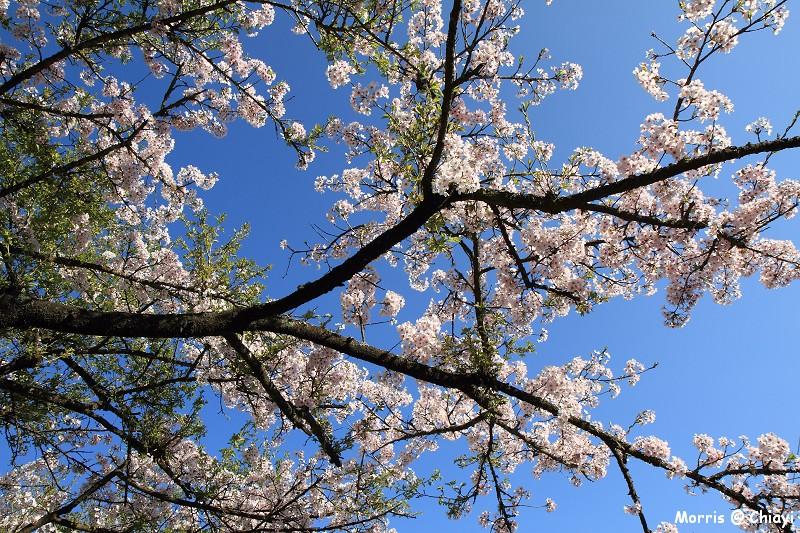 2012阿里山櫻花季 (26)