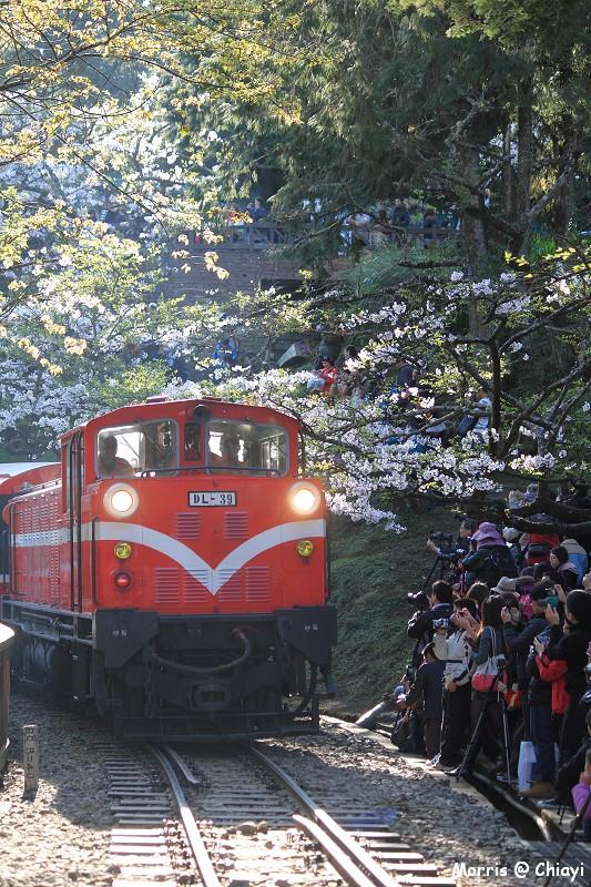 2012阿里山櫻花季 (27)