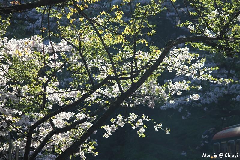 2012阿里山櫻花季 (28)