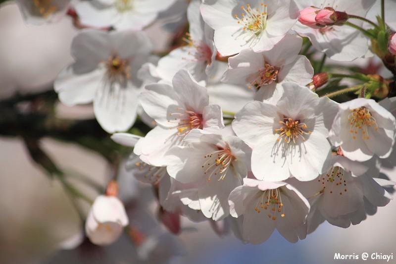2012阿里山櫻花季 (30)