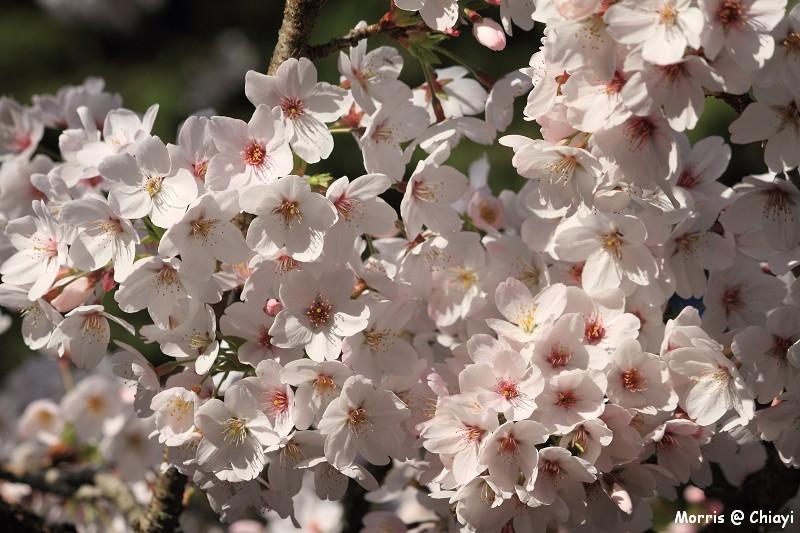 2012阿里山櫻花季 (31)