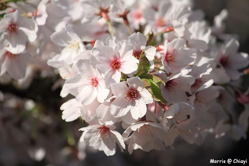 2012阿里山櫻花季 (32)