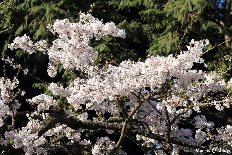 2012阿里山櫻花季 (33)