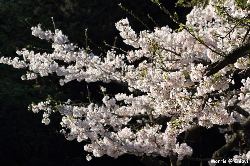 2012阿里山櫻花季 (34)