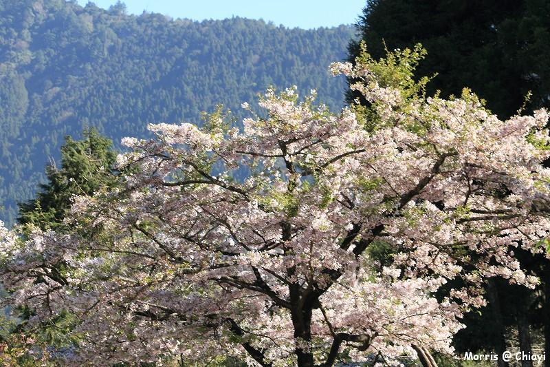2012阿里山櫻花季 (36)