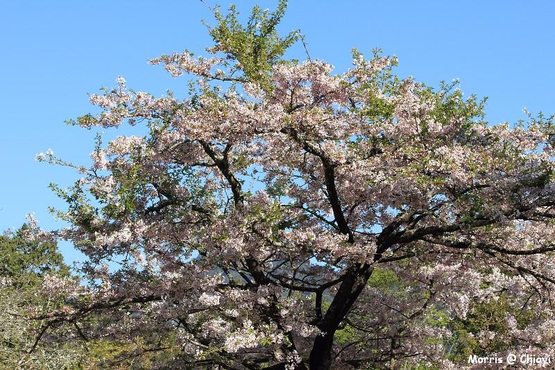 2012阿里山櫻花季 (37)