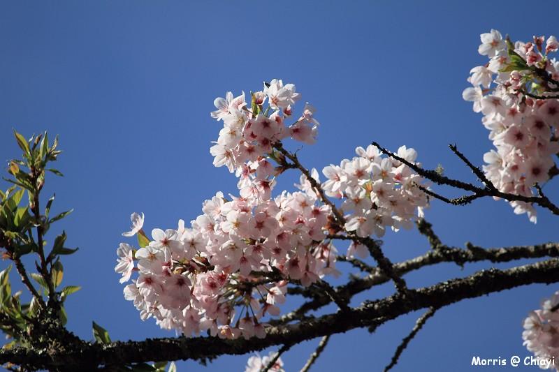 2012阿里山櫻花季 (39)