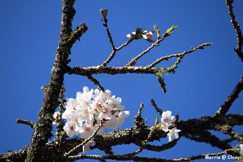 2012阿里山櫻花季 (40)