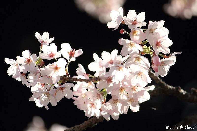 2012阿里山櫻花季 (41)