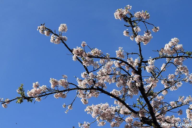 2012阿里山櫻花季 (42)