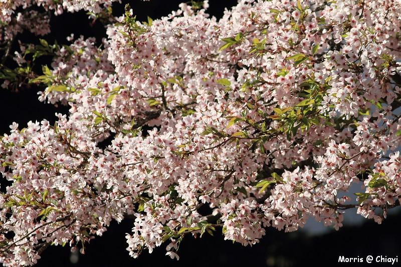 2012阿里山櫻花季 (43)