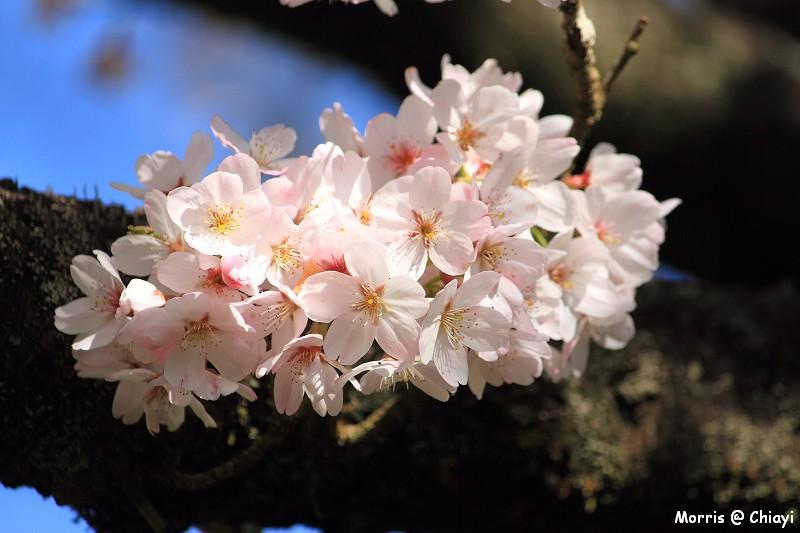 2012阿里山櫻花季 (45)