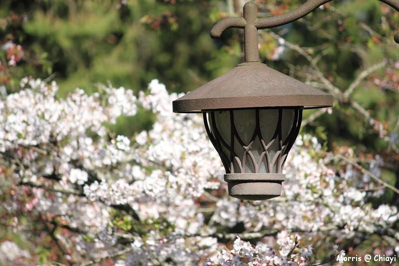 2012阿里山櫻花季 (46)