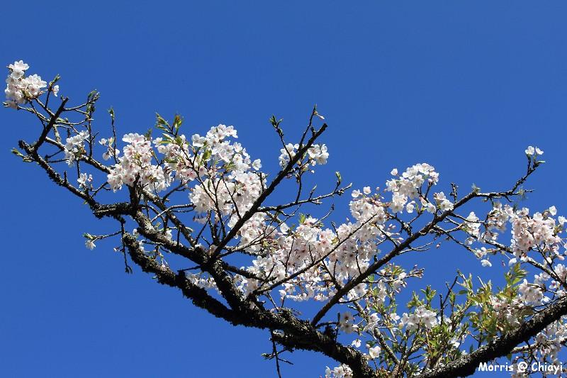 2012阿里山櫻花季 (47)