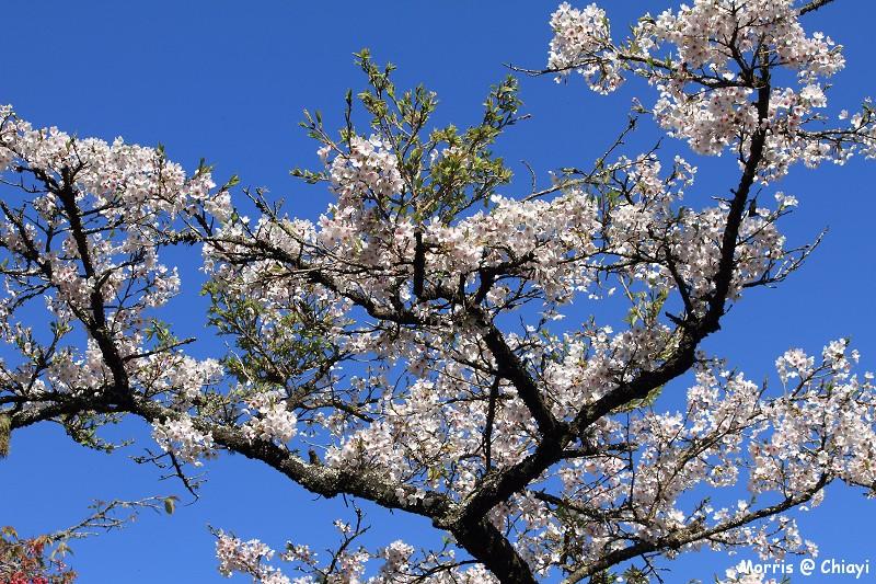 2012阿里山櫻花季 (48)