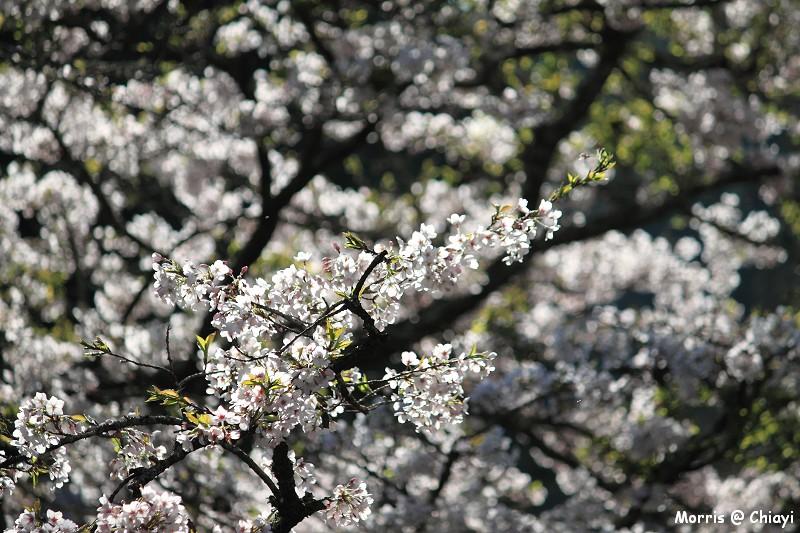 2012阿里山櫻花季 (50)