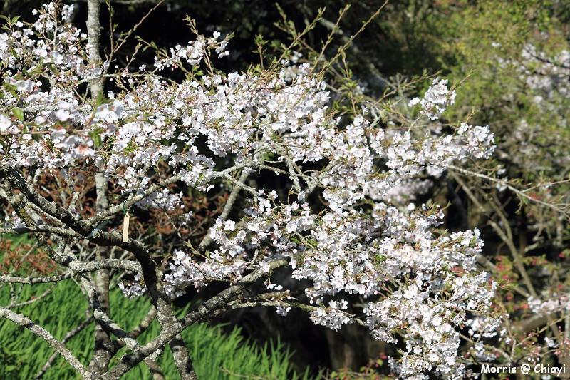 2012阿里山櫻花季 (52)