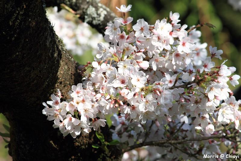 2012阿里山櫻花季 (53)