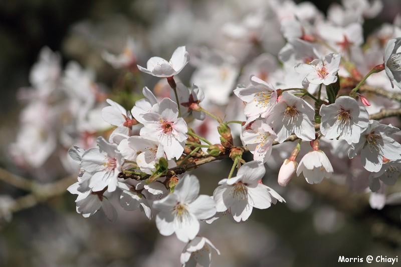 2012阿里山櫻花季 (55)